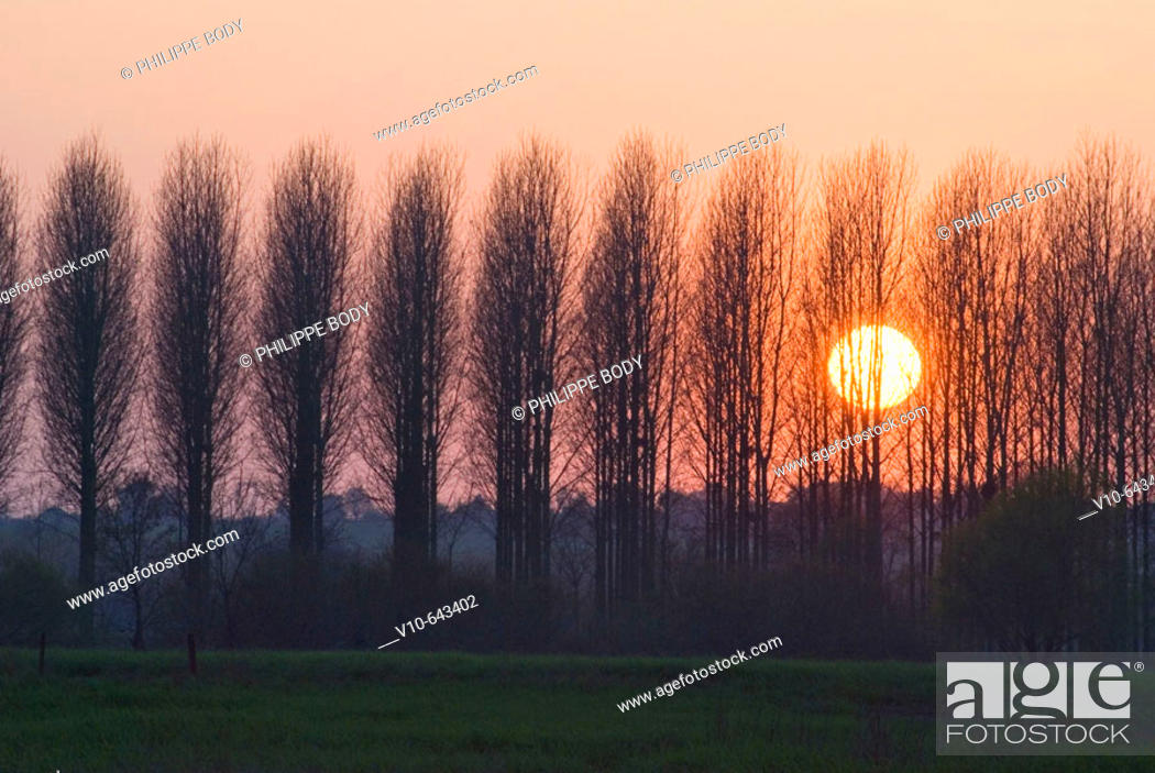 Stock Photo: Poplar trees, typical tree from the Loire valley.