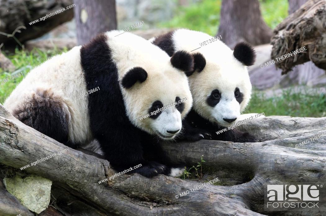 Photo de stock: Two years aged young giant Pandas (Ailuropoda melanoleuca), China Conservation and Research Centre for the Giant Pandas, Chengdu, Sichuan, China.