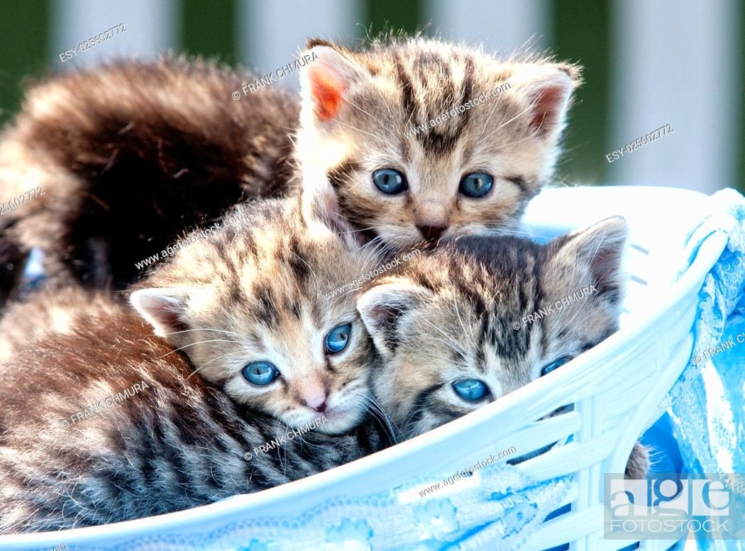 Imagen: Kittens with Blue Eyes Lying in a Basket Outdoors.