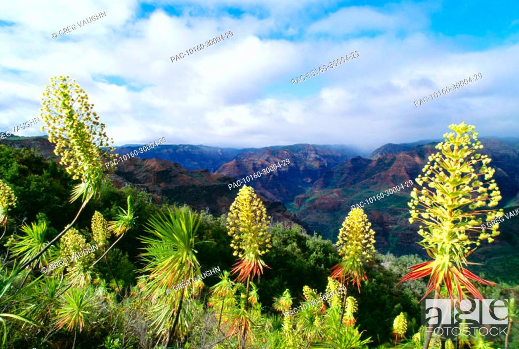 Stock Photo: Hawaii, Kauai, Waimea Canyon, Iliau plant, (Wilkesia gymnoxiphium) found only on Kauai.