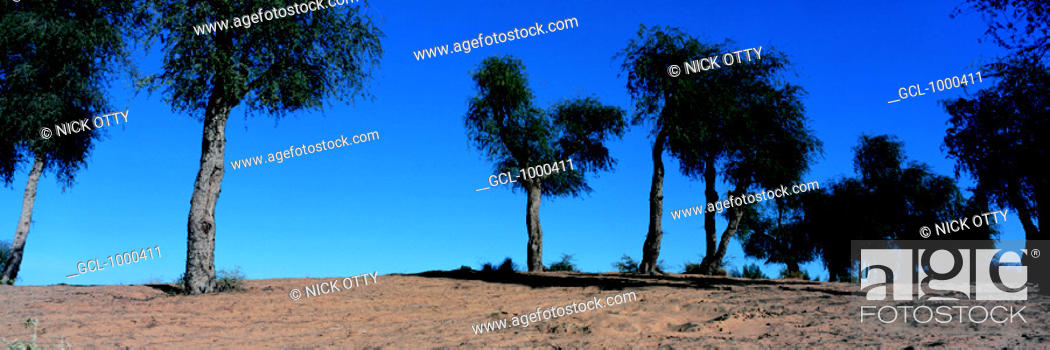 Stock Photo: Trees in the desert in the UAE.