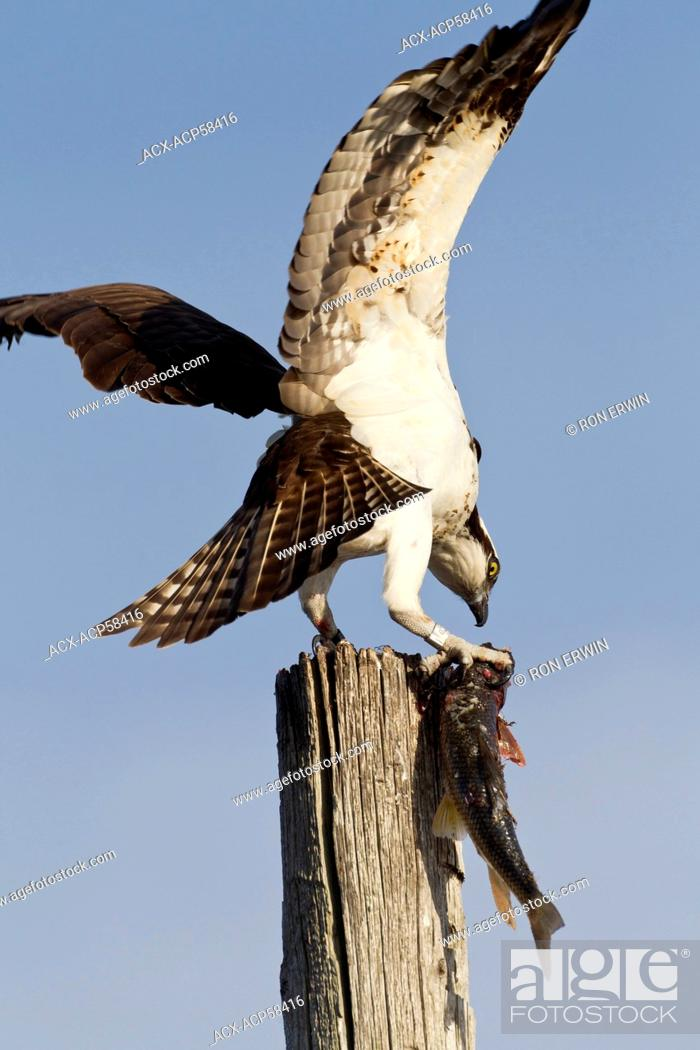Stock Photo: Osprey Pandion haliaetus perched on a post eating a fish in the Township of Burpee and Mills on Manitoulin Island, Ontario, Canada.