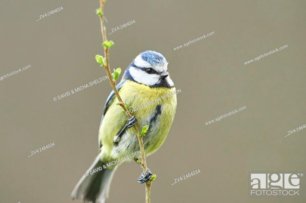 Stock Photo: Close-up of a Eurasian blue tit (Cyanistes caeruleus or Parus caeruleus) in early spring.