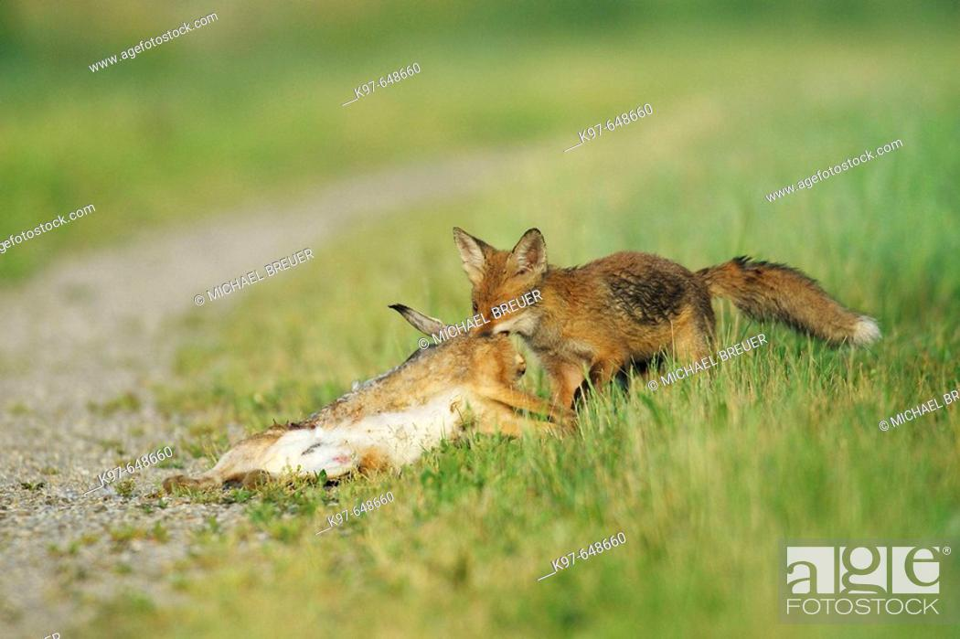 Stock Photo: Vulpes vulpes, Red Fox with Brown hare, cub, Germany.