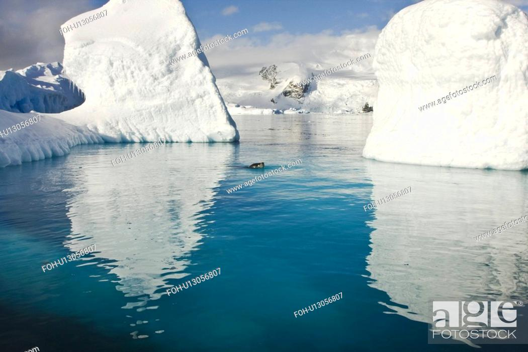Imagen: An adult leopard seal Hydrurga leptonyx among the icebergs at Cierva Point on the Danco Coast of the Antarctic peninsula, southern ocean.