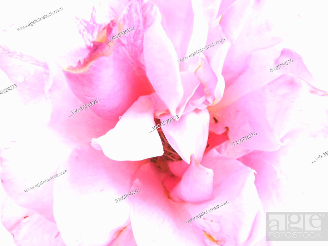Stock Photo: painting of a pink rose - 26/05/2009.