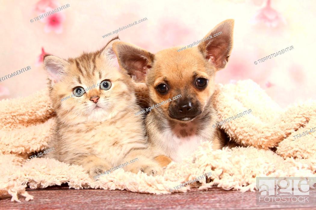 Stock Photo: Chihuahua Puppy and British Shorthair Kitten.