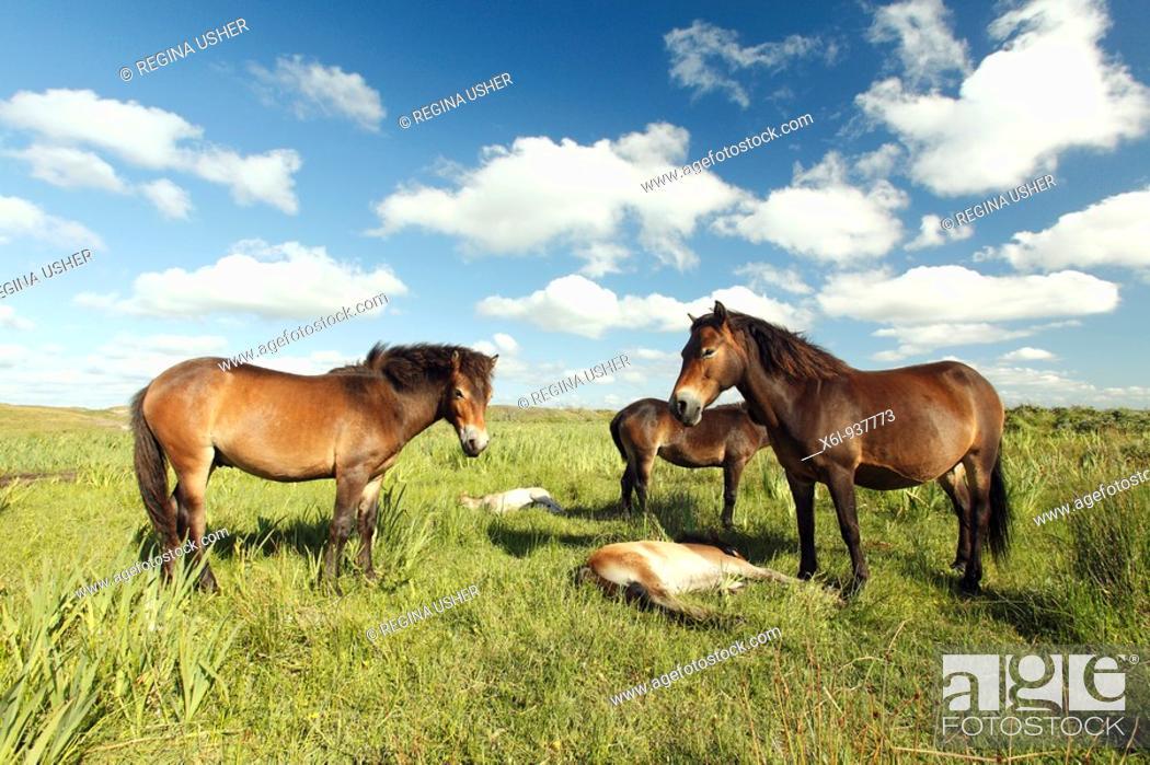 Stock Photo: Exmoor Pony - Mares and foals resting, De Bollekamer sand dune NP, Island of Texel, Holland.