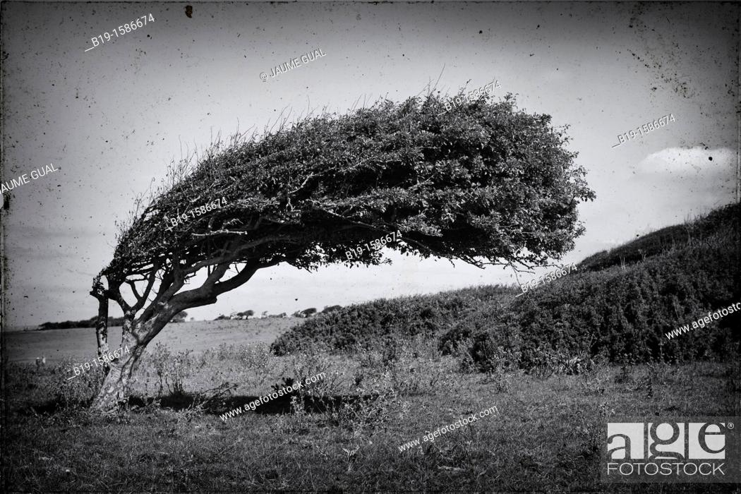 Stock Photo: Tree bent by the wind, Seven Sisters, South Downs National Park, England, United Kingdom, Europe.