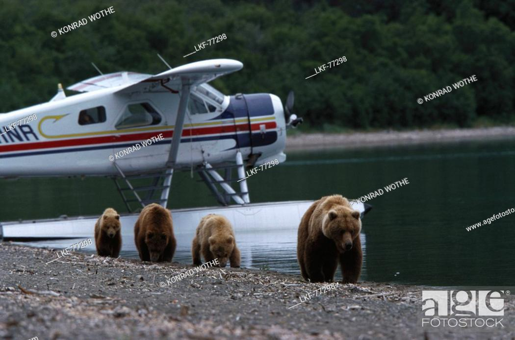 Stock Photo: Brown bear, grizzly with cubs, Ursus Arctos, seaplane in the background, Katmai National Park, Alaska, USA.