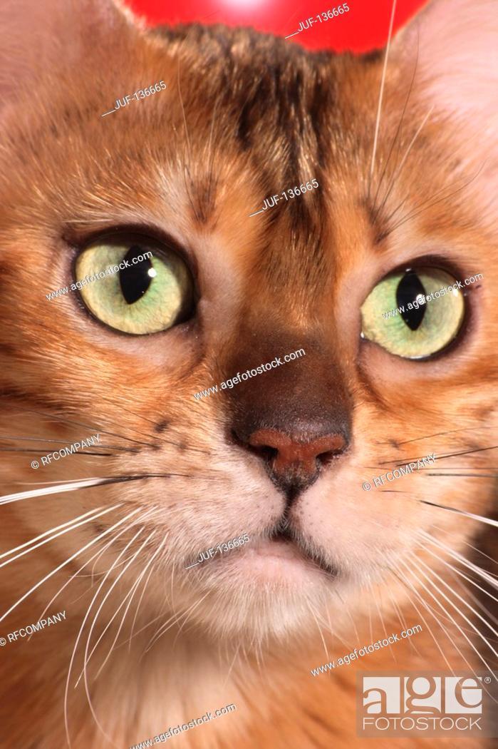 Stock Photo: Bengal kitten - Portrait.