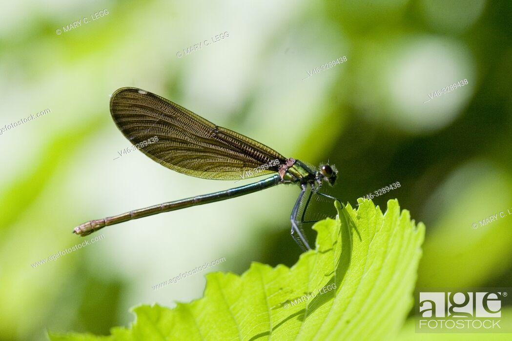 Stock Photo: Female Beautiful Demoiselle, Calopteryx virgo. Adults: 49-54mm length. males are metallic blue and females emerald green.
