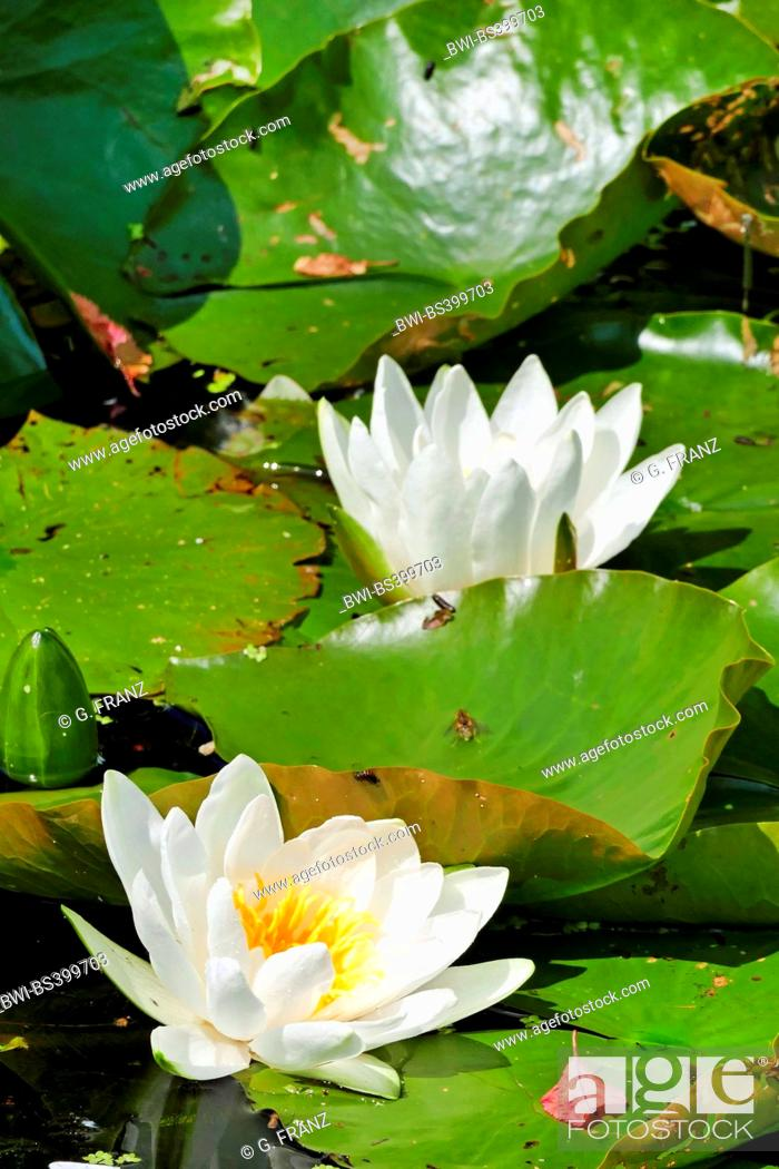Stock Photo: white water-lily, white pond lily (Nymphaea alba), blooming, Germany.