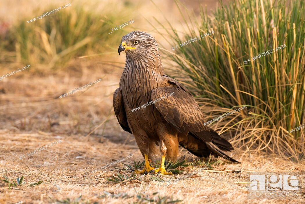 Stock Photo: Black kite (Milvus migrans). Photographed in the Espinar Segovia.
