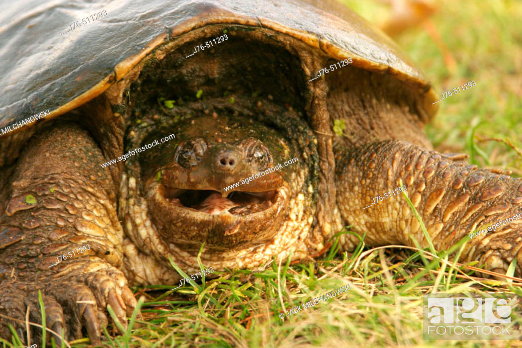 Snapping Turtle (Chelydra serpentina), Stock Photo, Picture And