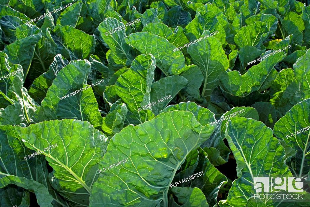 Stock Photo: Kale / borecole / leaf cabbage (Brassica oleracea convar. acephala var. laciniata / Brassica oleracea var. sabellica) crop on field.