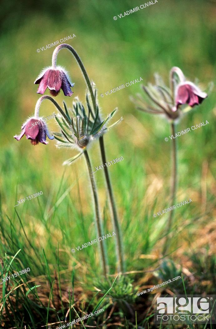 Stock Photo: The flowers of Pulsatilla nigricans on Holubyho luky, Male Karpaty, Slovakia.