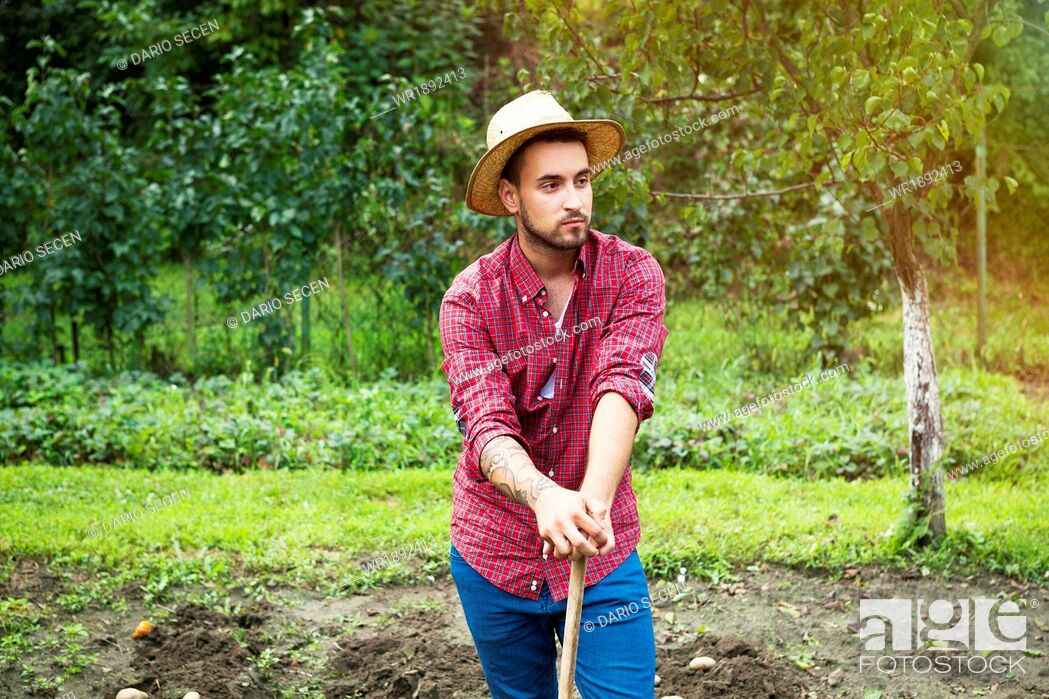 Stock Photo: Young man harvesting potatoes in vegetable garden.