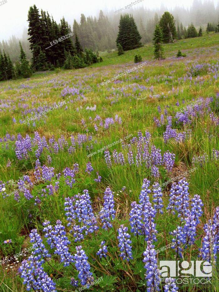Stock Photo: Field of Subalpine Lupine, Sourdough Ridge Trail, Mt. Rainier National Park, Washington state, US.