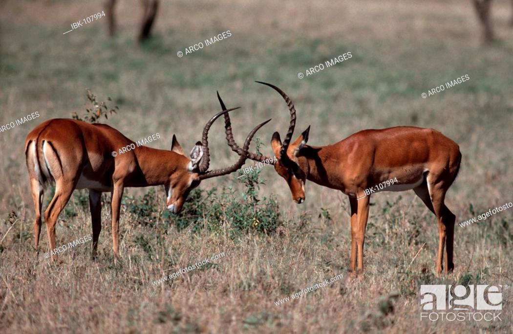 Imagen: Impalas, fighting males, Massai Mara Game Reserve, Kenya / (Aepyceros melampus).