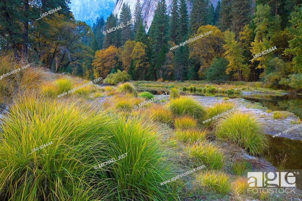 Stock Photo: TALL GRASSES AND COLORFUL TREES LINE THE MERCED RIVER IN AUTUMN AT YOSEMITE NATIONAL PARK, CALIFORNIA.