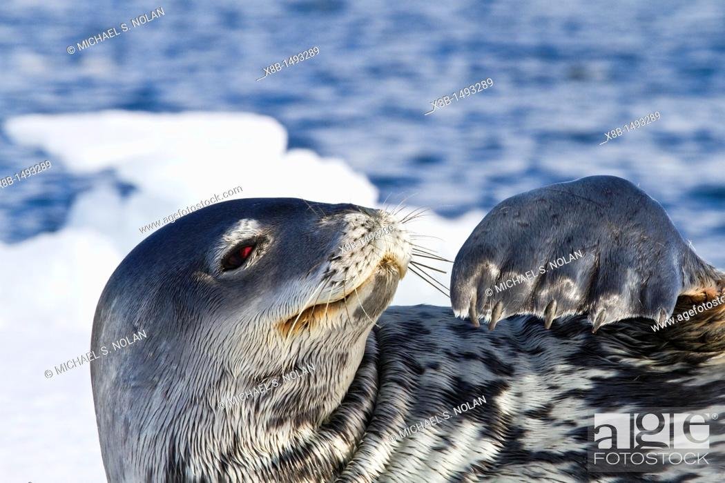 Imagen: Adult Weddell Seal Leptonychotes weddellii hauled out on ice near the Antarctic Peninsula, Southern Ocean  MORE INFO This is the most southerly breeding seal in.