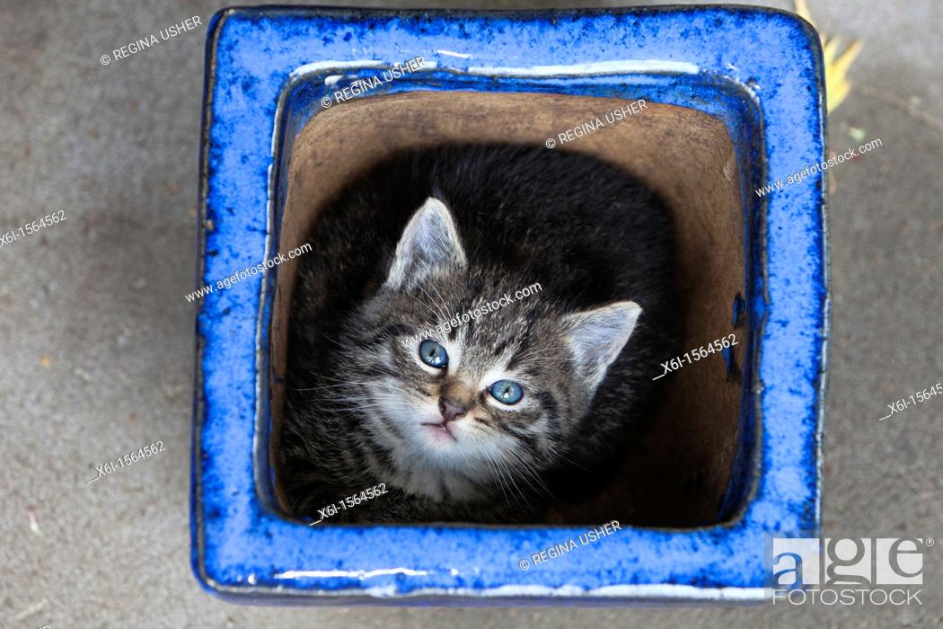 Stock Photo: Kitten, hidding in plant pot, Lower Saxony, Germany.