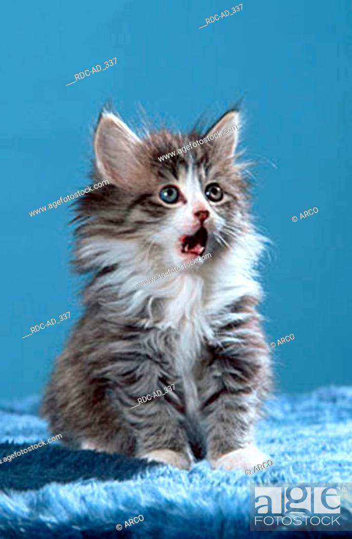 Norwegian Forest Cat Kitten 7 Weeks Black Tabby Mackerel White Stock Photo Picture And Rights Managed Image Pic Rdc Ad 337 Agefotostock