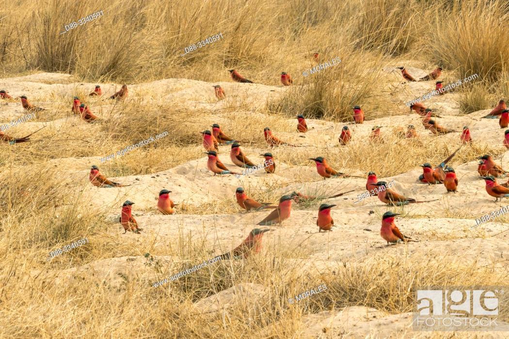 Stock Photo: Southern Carmine Bee-eater (Merops nubicoides), on the ground, Zambezi River, Namibia, Africa.