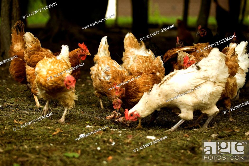 domestic fowl (Gallus gallus f  domestica), free-range