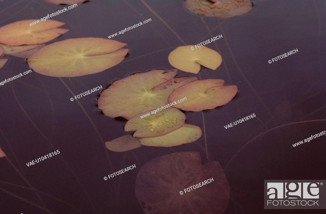 Stock Photo: Lotus Leaves In Autumn.