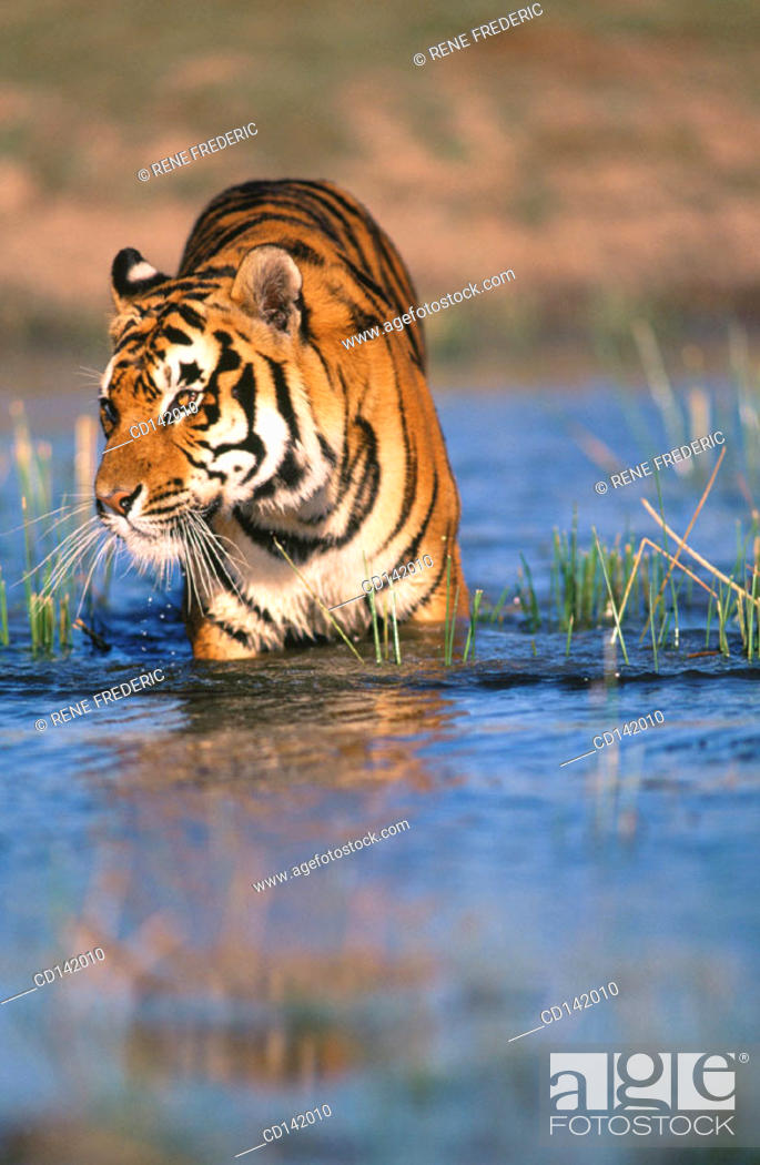 Stock Photo: Bengal Tiger (Panthera tigris tigris), captive. India.