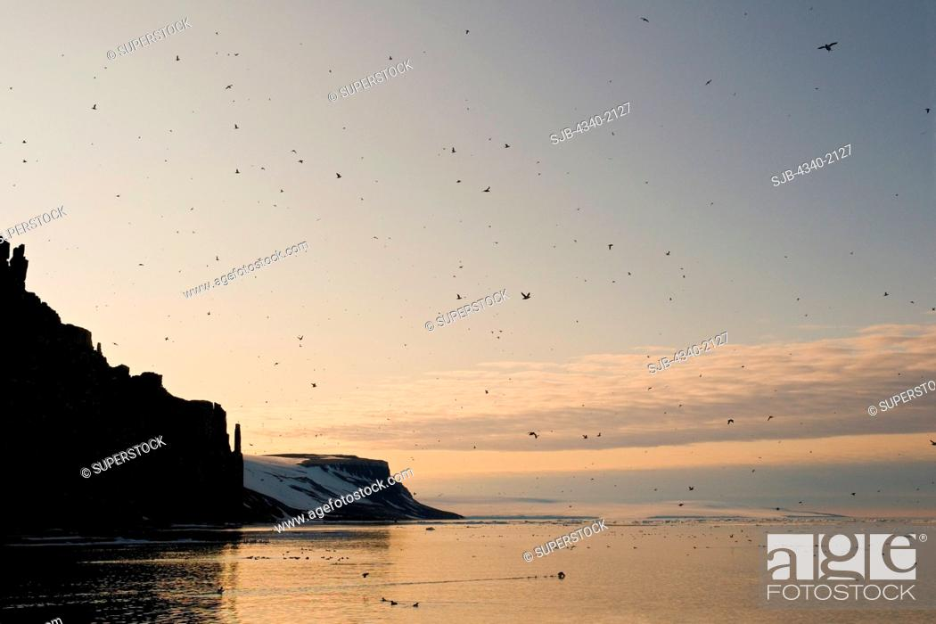 Stock Photo: Hundreds of Brunnich's guillemots Uria lomvi fly to and from their nests on cliffs along the coast of Svalbard in summertime, Norway.