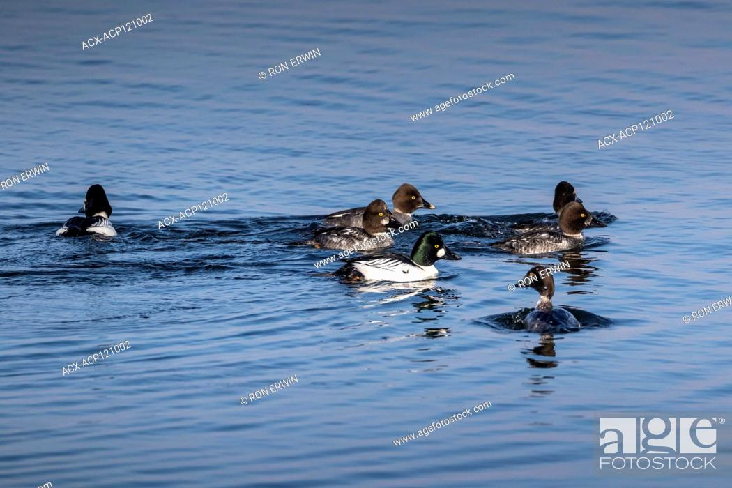 Stock Photo: Common Goldeneye (Bucephala clangula) flock on Lake Wolsey, Manitoulin Island, Ontario, Canada.