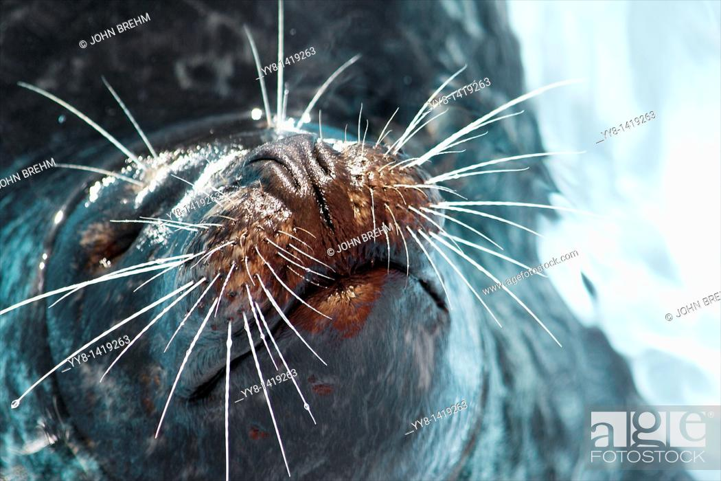 Stock Photo: Photo of a seal at an aquarium in Texas, USA.