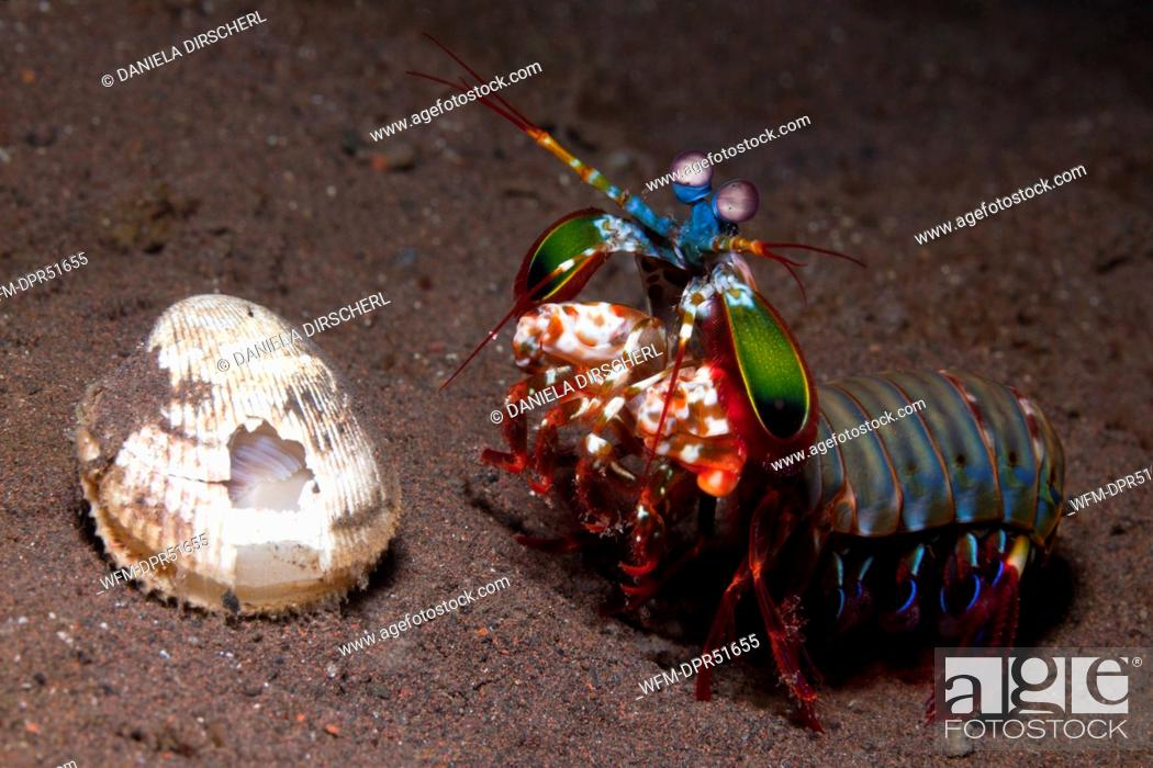 Stock Photo: Mantis Shrimp guards captured Clam, Odontodactylus scyllarus, Seraya, Bali, Indonesia.