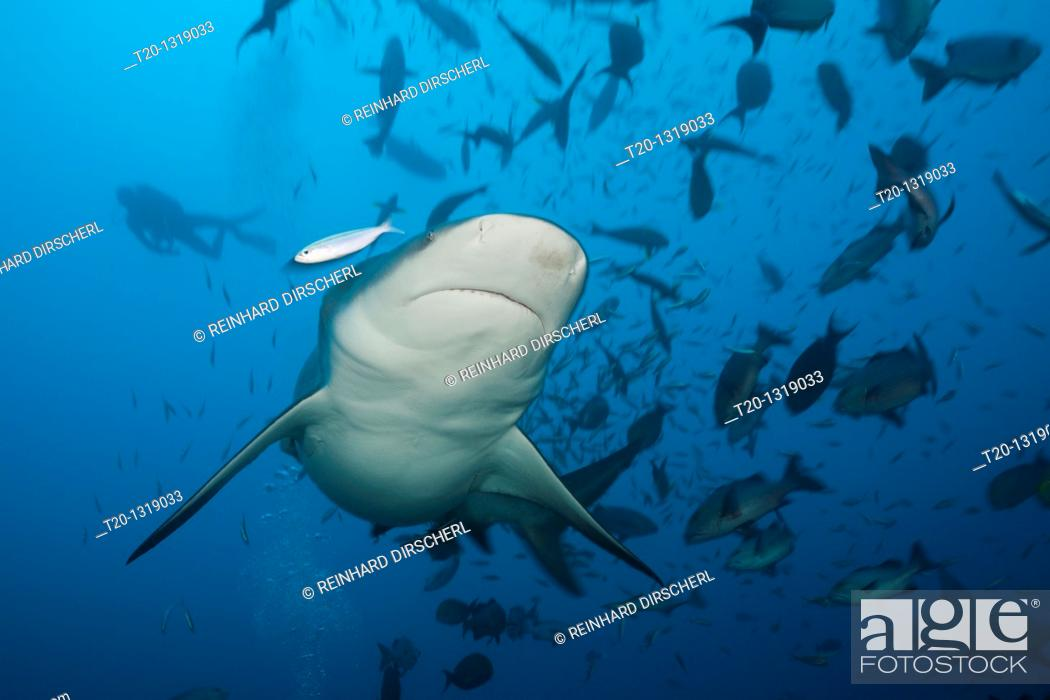 Stock Photo: Bull Shark, Carcharhinus leucas, Beqa Lagoon, Viti Levu, Fiji.