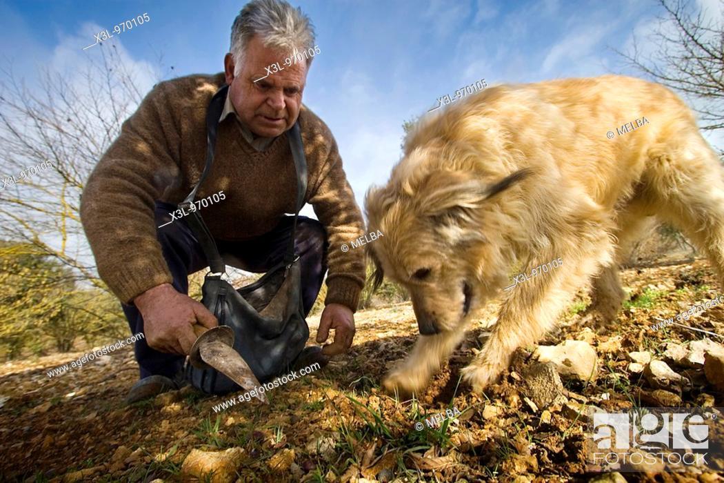 Stock Photo: Training dog for truffle harvest  Navarra  Spain.