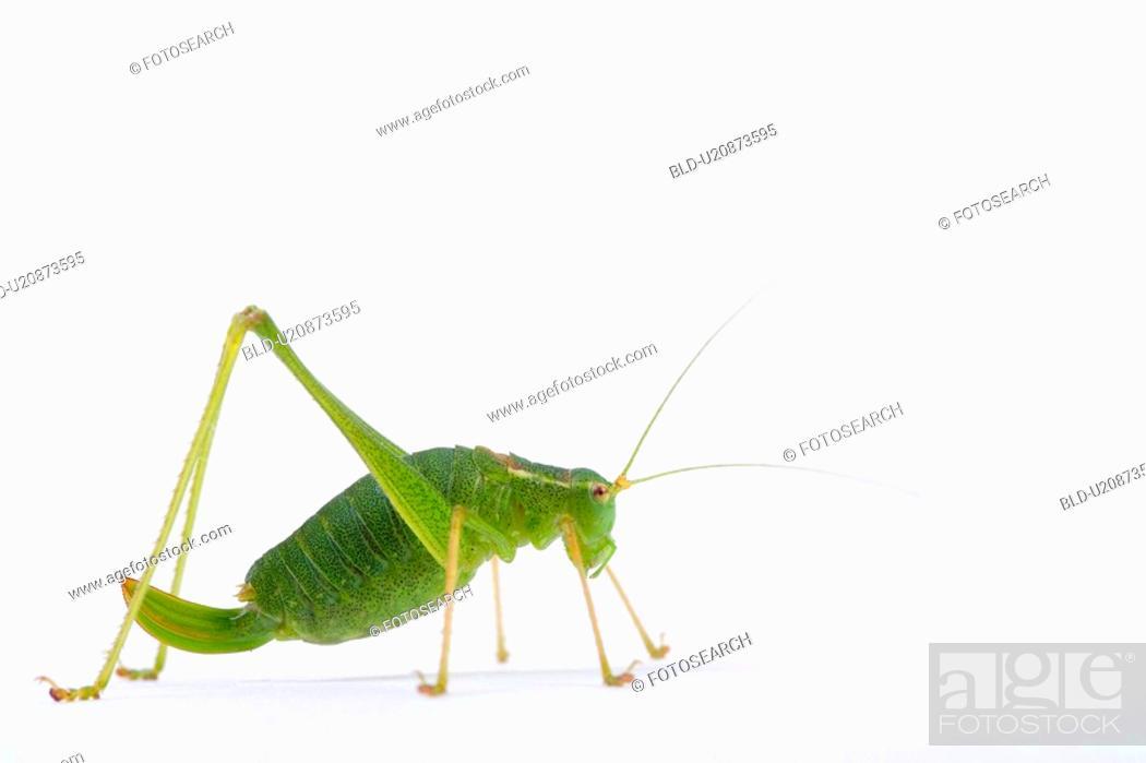 Stock Photo: colored, green, grasshopper, ganzansicht, alfred.