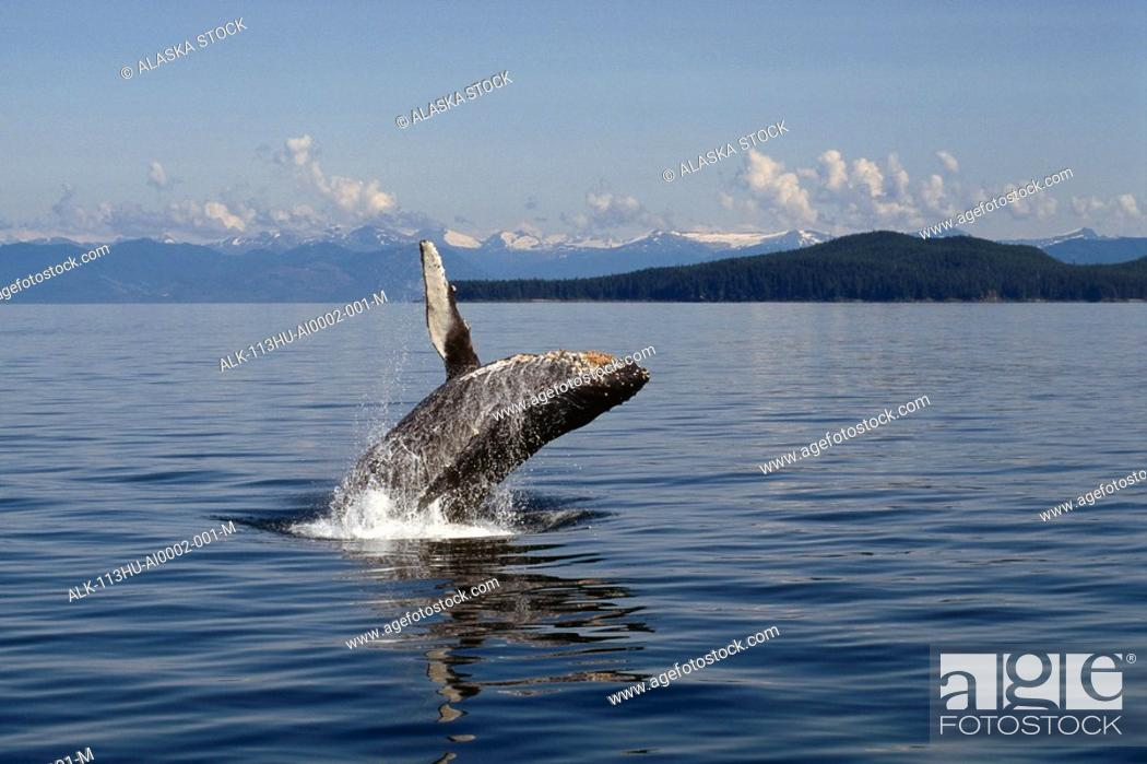 Stock Photo: Humpback Whale Breaching Water Southeast Alaska Mountains.
