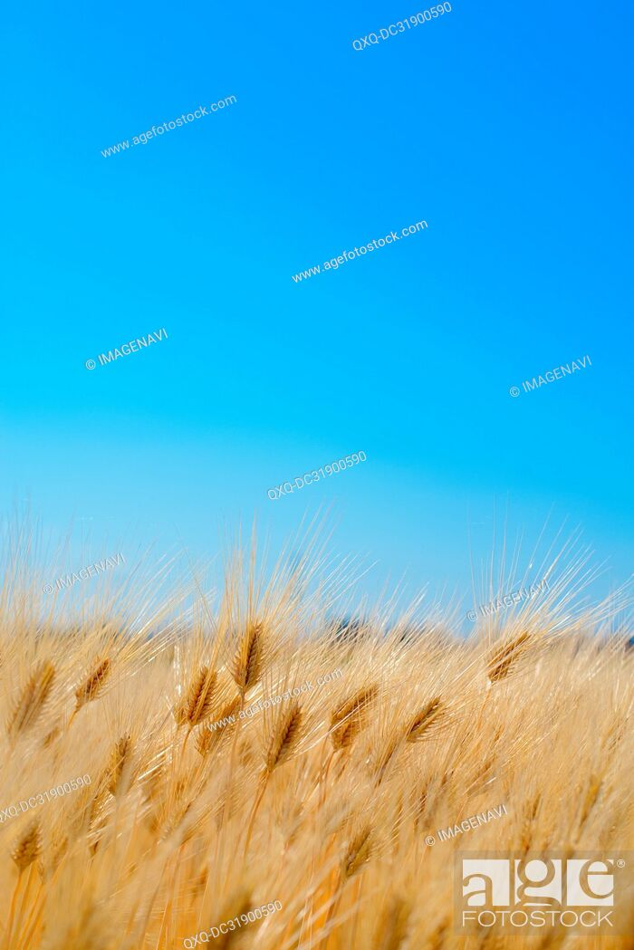 Stock Photo: Barley Field.