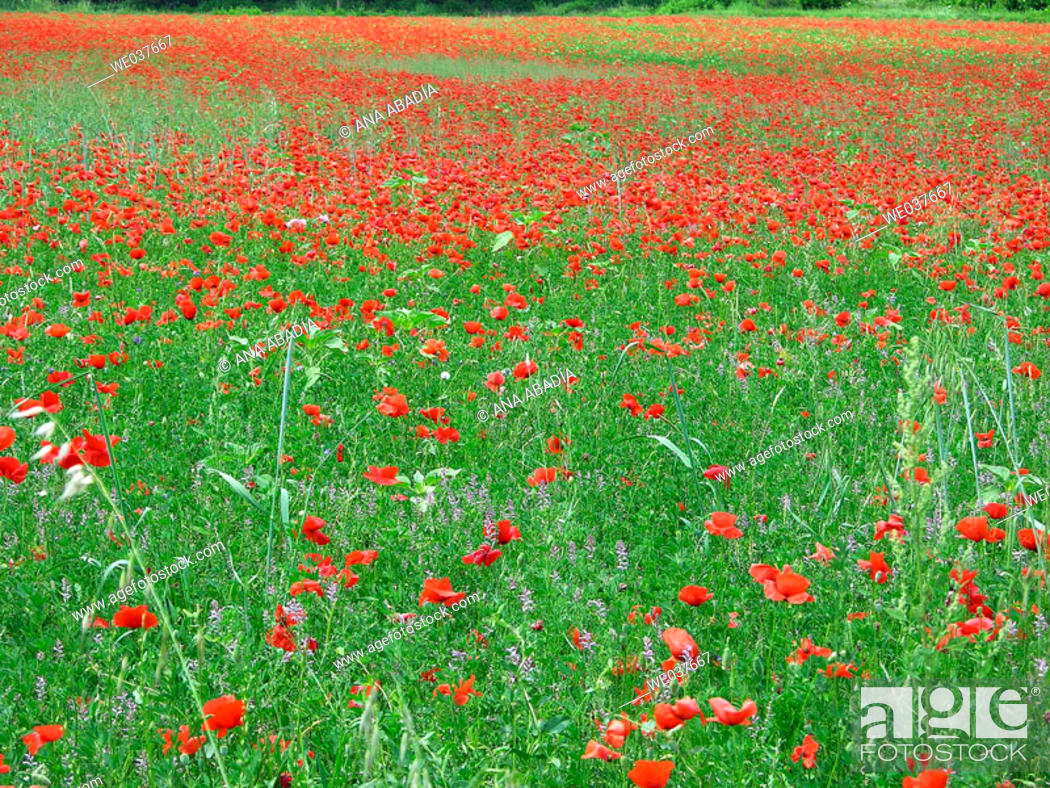 Stock Photo: Poppies in field.