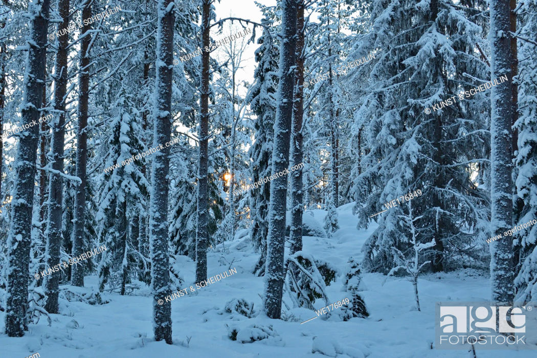 Stock Photo: Snow-clad trees in a softwood forest on a cold winter day.