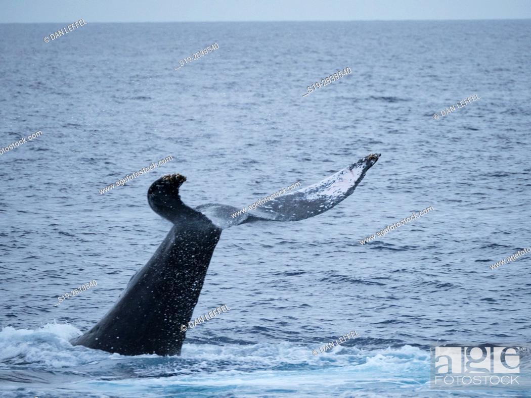 Stock Photo: Maui Humpback Whale Tail Slap.