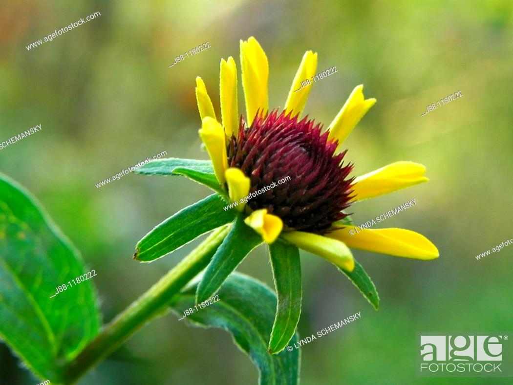 Stock Photo: Black eyed Susan flower bud, rudbeckia sp, in the late afternoon garden.