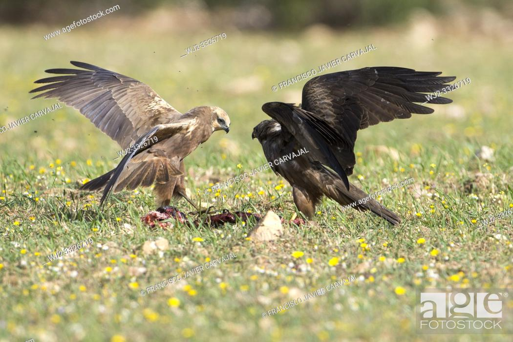 Imagen: Western marsh harrier (Circus aeruginosus) and Black kite (Milvus migrans) fighting over food, Extremadura, Spain.