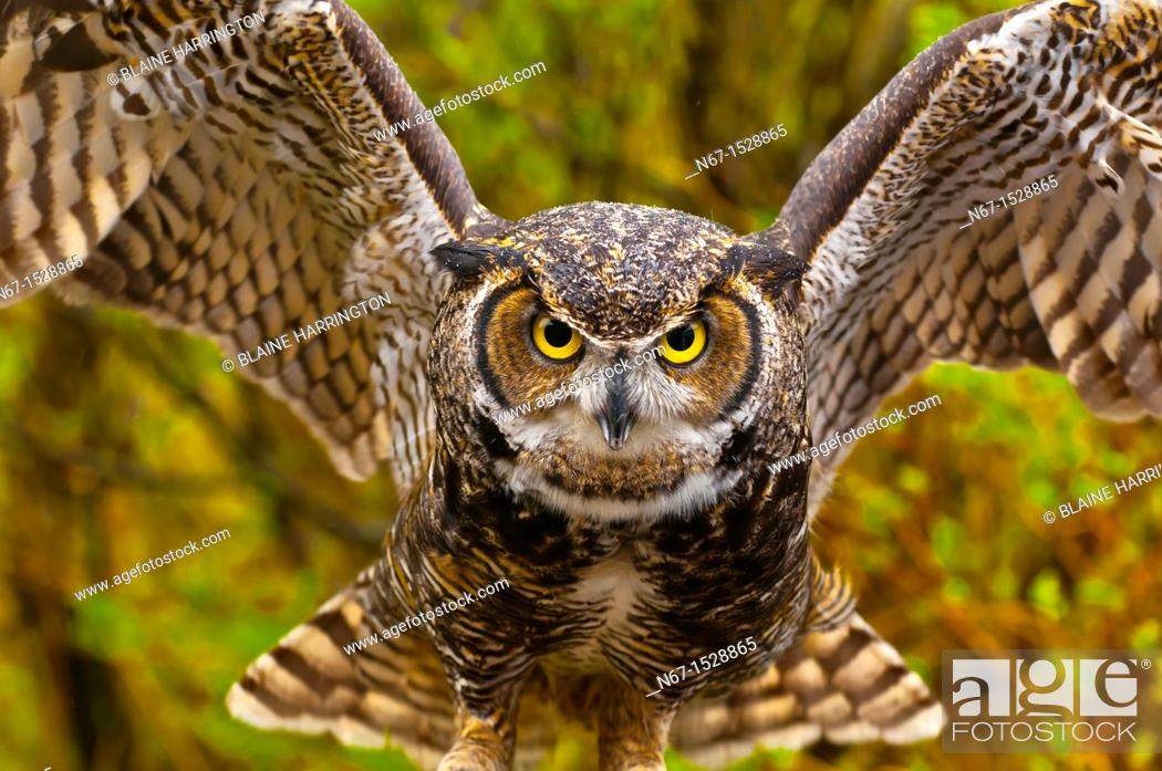 Stock Photo: Great horned owl Bubo virginianus, Alaska Wildlife Foundation, Ketchikan, Alaska USA.