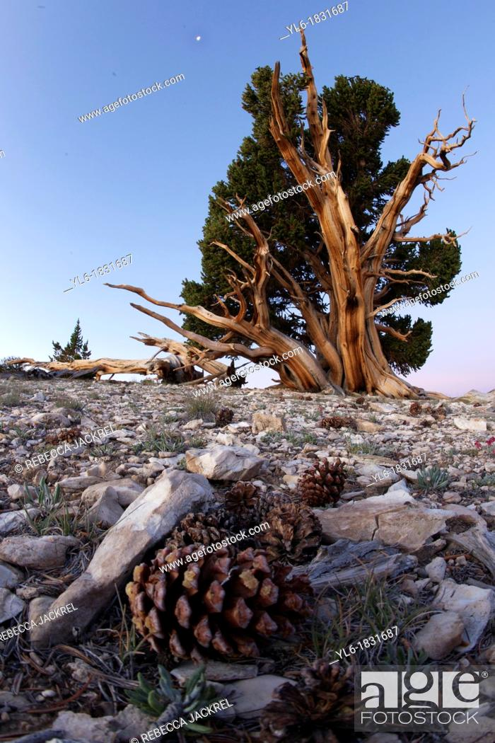 Stock Photo: A pine cone promising new growth of an ancient Bristlecone Pine.