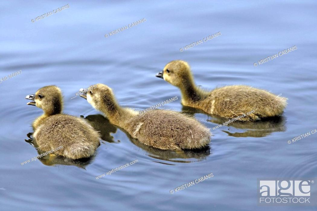 Stock Photo: Three little Grey Lag Goose (Anser anser) chicks seen from backside and swimming away on a lake, Island of Amrum, Northfrisian, Schleswig-Holstein.