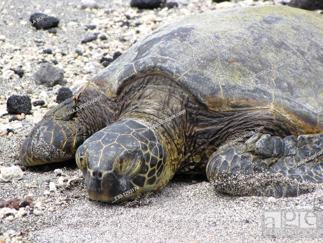 Imagen: Honu Hawaiian green sea turtle on beach, Pu'uhonua o Honaunau National Historical Park Place of Refuge, Big Island, Hawaii, USA.